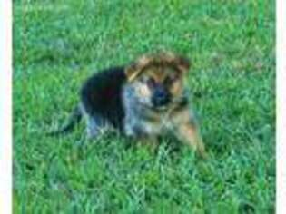 German Shepherd Dog Puppy for sale in New London, NC, USA