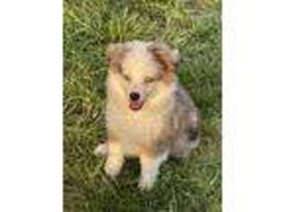 Australian Shepherd Puppy for sale in Clearwater, KS, USA