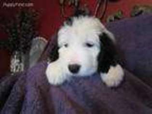 View Ad: Old English Sheepdog Puppy for Sale near Illinois
