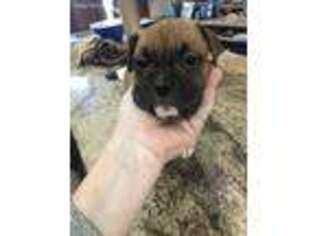 Valley Bulldog Puppy for sale in Lolo, MT, USA