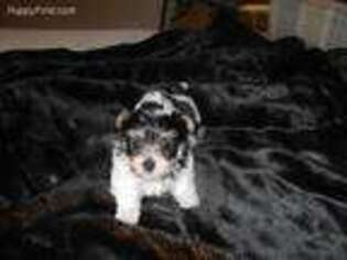 Yorkshire Terrier Puppy for sale in Central Point, OR, USA