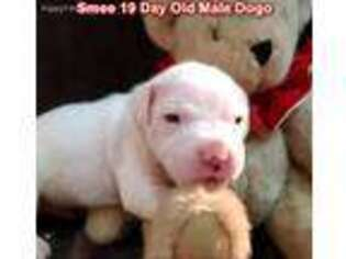 Dogo Argentino Puppy for sale in Pineville, MO, USA
