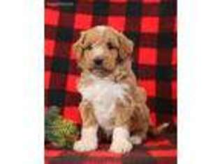 Goldendoodle Puppy for sale in Millersburg, PA, USA
