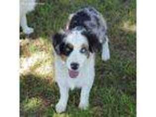 View Ad Miniature Australian Shepherd Puppy For Sale Texas Evant Usa