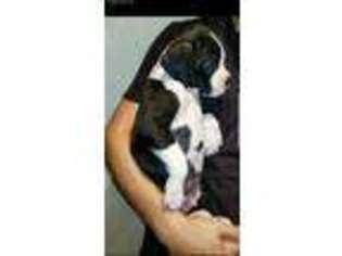 Puppyfinder com: Boxer puppies puppies for sale near me in Riverside