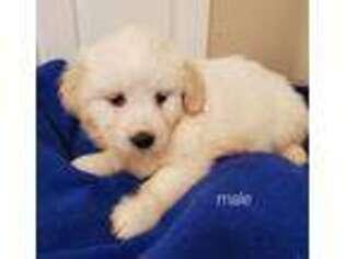 Bichon Frise Puppy for sale in Hampton, VA, USA