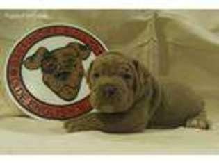 Olde English Bulldogge Puppy For Sale near Baltimore, MD, USA