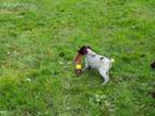 View Ad German Wirehaired Pointer Puppy For Sale New York Addison