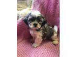 View Ad Mal Shi Puppy For Sale New York Rochester Usa