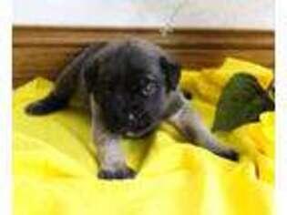 Mastiff Puppy for sale in Grabill, IN, USA