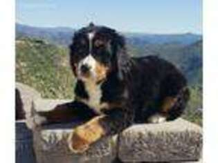 Puppyfindercom Bernese Mountain Dog Puppies For Sale Near Me In