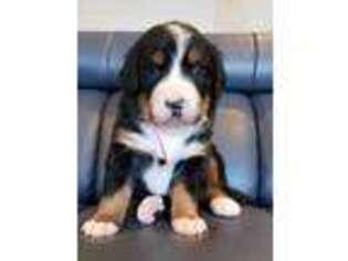 Puppyfindercom Bernese Mountain Dog Puppies Puppies For