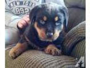 View Ad Rottweiler Puppy For Sale New York Gainesville Usa