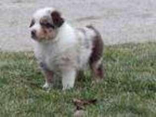 Australian Shepherd Puppy for sale in Claysville, PA, USA