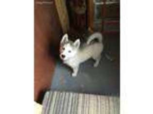 View Ad Siberian Husky Puppy For Sale Tennessee Friendsville Usa