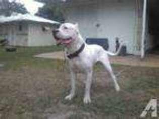 Dogo Argentino Puppy for sale in MIAMI, FL, USA