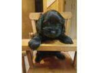 Cock-A-Poo Puppy for sale in Randallstown, MD, USA