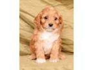 View Ad: Cavapoo Puppy for Sale, Ohio, Fredericksburg, USA