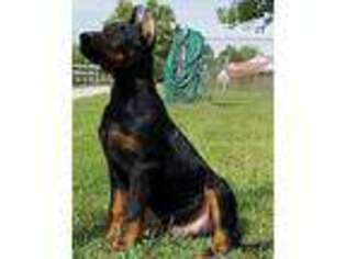 View Ad Beauceron Puppy For Sale Near Kentucky Taylorsville Usa