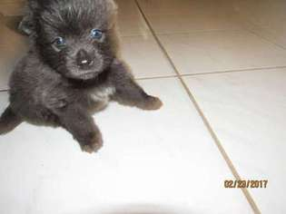 View Ad Pomeranian Puppy For Sale Texas Houston Usa