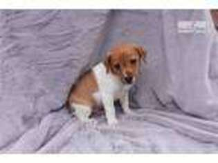 Jack Russell Terrier Puppy for sale in Unknown, , USA
