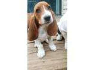 View Ad Basset Hound Puppy For Sale North Carolina Durham Usa