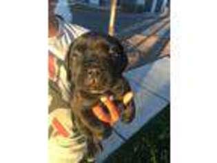 Cane Corso Puppy for sale in Phoenix, AZ, USA