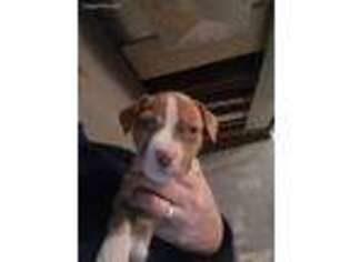 Staffordshire Bull Terrier Puppy for sale in Buffalo Lake, MN, USA