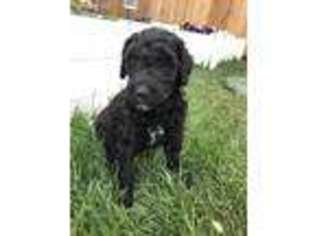 Puppyfindercom Labradoodle Puppies For Sale And