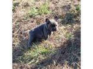 French Bulldog Puppy for sale in Rock Island, TN, USA