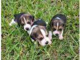 View Ad Beagle Puppy For Sale Florida Fort Meade Usa