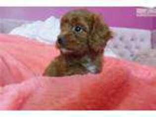 View Ad: Cavapoo Puppy for Sale near Georgia, Atlanta, USA