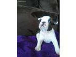 View Ad Boston Terrier Puppy For Sale Michigan Evart Usa