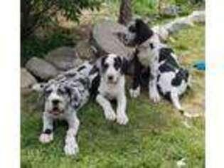 Great Dane Puppy for sale in North Branch, MI, USA