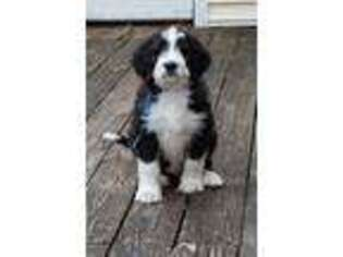 Mutt Puppy for sale in Spencer, TN, USA