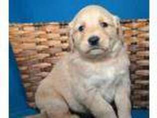 Golden Retriever Puppy for sale in Kendallville, IN, USA