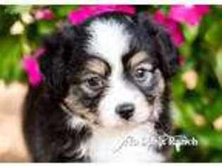 Puppyfinder com: Miniature Australian Shepherd puppies puppies for