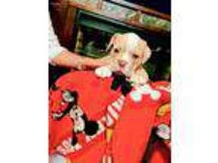 Olde English Bulldogge Puppy for sale in New Iberia, LA, USA