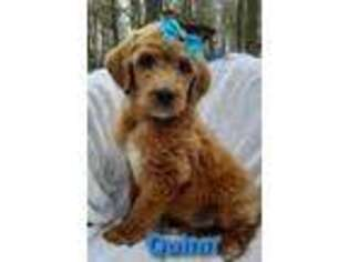 Goldendoodle Puppy for sale in Burtonsville, MD, USA