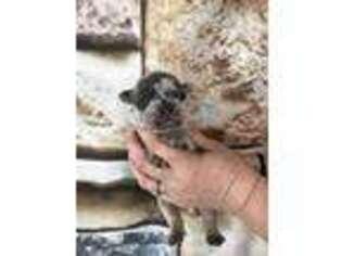 French Bulldog Puppy for sale in Saint Joseph, MO, USA