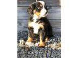 Puppyfinder com: Bernese Mountain Dog puppies puppies for sale near