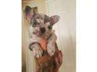 French Bulldog Puppy for sale in Corona, CA, USA
