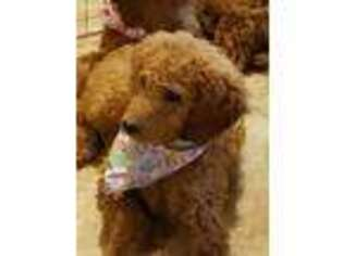 View Ad: Goldendoodle Puppy for Sale near Iowa, Grinnell, USA  ADN