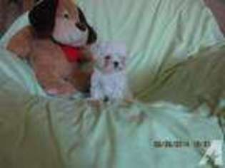 Maltese Puppy for sale in DAYTON, NV, USA