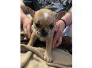 French Bulldog Puppy for sale in Pawtucket, RI, USA