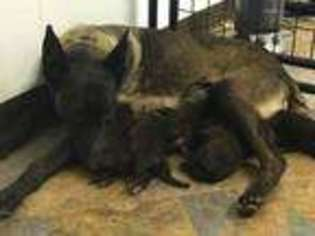 Belgian Malinois Puppy For Sale near Arkansas City, KS, USA