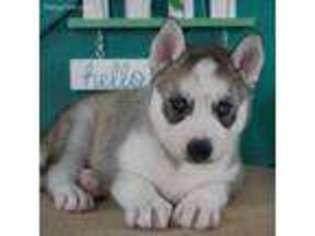 View Ad Siberian Husky Puppy For Sale Missouri Lamar Usa