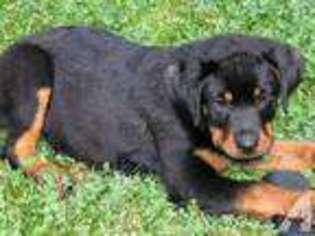 Puppyfindercom Rottweiler Puppies For Sale Near Me In Oregon Usa