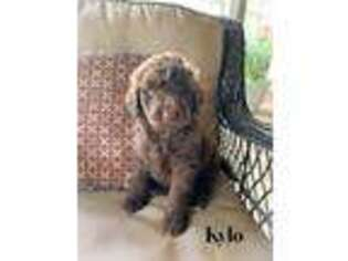 Labradoodle Puppy for sale in Abbeville, SC, USA