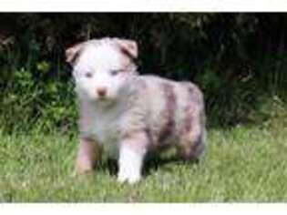 Australian Shepherd Puppy for sale in Batesville, IN, USA